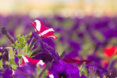 Pink and violet petunia flowers Royalty Free Stock Photo