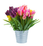 Pink and violet tulip flowers in metal pot. Isolated on white background royalty free stock photo