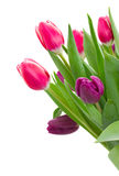 Pink   and violet tulips Royalty Free Stock Images