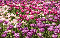 Pink and violet tulips Stock Photography