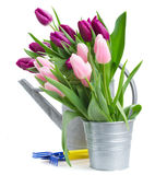 Pink   and violet tulips with gardening tools Stock Photos