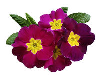 Pink-violet violets  flowers, white isolated background with clipping path.   Closeup.  no shadows.  For design. Royalty Free Stock Photography