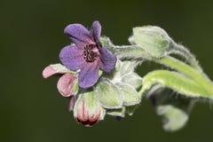 Pink violet wild flower - close-up Stock Photos