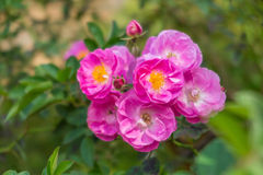 Pink, violet and yellow English rose. In the garden with blur background Royalty Free Stock Photos