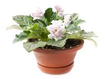 Pink violets Stock Images