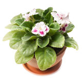 Pink violets Stock Photography