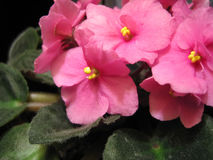 Pink violets. Royalty Free Stock Photo