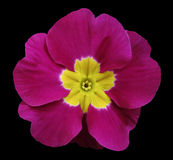 Pink violets flower black isolated background with clipping path. Closeup. no shadows. For design Royalty Free Stock Photography