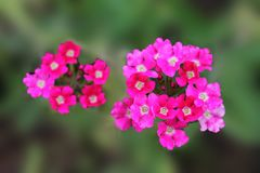 Pink violets invite friends to the ball. Pink violet flowers on an isolated background royalty free stock image