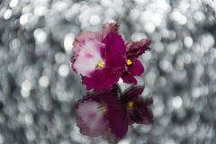 Pink violets on a mirror table on a background of color glare Royalty Free Stock Photo