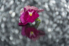 Pink violets on a mirror table Stock Image