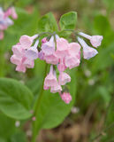 Pink Virginia Bluebells Stock Images