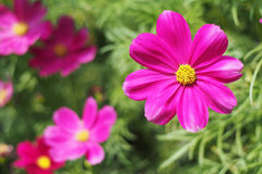 Pink vivid cosmos flower Royalty Free Stock Photography