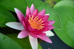 Pink vivid lotus Royalty Free Stock Image