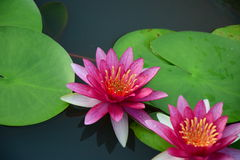 Pink vivid lotus Stock Photos