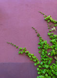 Pink wall, climbing Hydrangea Royalty Free Stock Image