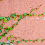 Pink wall with ivy plant Stock Photo