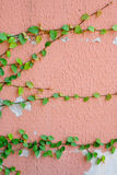 Pink wall with ivy plant Stock Image