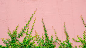 Pink wall with ivy plant Stock Images