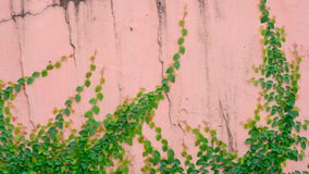 Pink wall with ivy plant Stock Photography