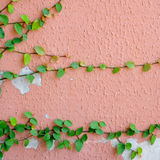 Pink wall with ivy plant Stock Photos