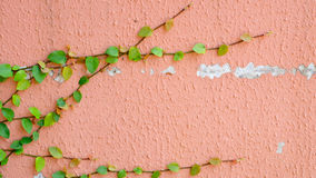 Pink wall with ivy plant Royalty Free Stock Photos