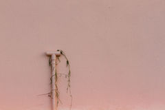 Pink wall with tube and dry plant Royalty Free Stock Images