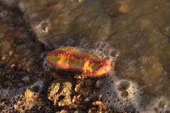 Pink warty sea cucumber/Pink-Yellow Sea Cucumber on the beach royalty free stock photography