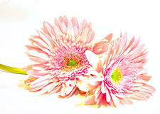 Pink Washed Gerber Daisies. Pale washed pink gerber daisies royalty free stock images