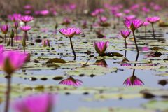 Pink water lili blooming in marshland. Hong Kong. Royalty Free Stock Images