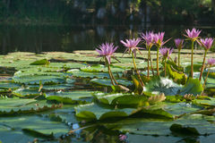 Pink water lilies. Royalty Free Stock Photo