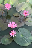 Pink water lilies Royalty Free Stock Photography