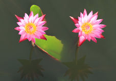 Pink water lilies Royalty Free Stock Images