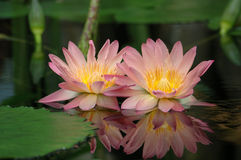 Pink Water Lilies. A pair of pink water lilies with a vivid reflection Royalty Free Stock Images