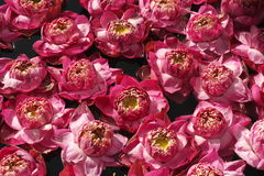 Pink water lilies Stock Photos