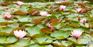 Pink water lilies Stock Photos
