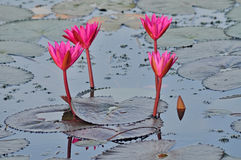 Pink water lilies Stock Images