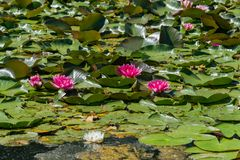 Pink water lilies bloom in the pond. royalty free stock image