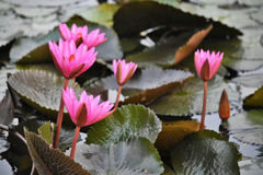 Pink water lilies Royalty Free Stock Photo