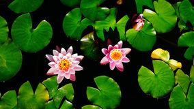 Pink water lilies floating among bright green leaves Stock Images