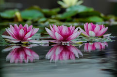 Pink water lilies. Horizontal shot of beautiful pink water lilies floating on a small pond in a gloomy, dark morning Royalty Free Stock Images
