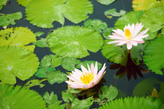 Pink water lilies and leaves in a pond Stock Photo