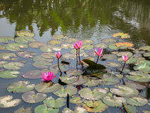 Pink water lilies or Nymphaea start blooming on surface of abund Stock Photos