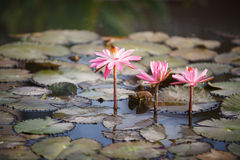 Pink Water Lilies - Nymphaeaceae Royalty Free Stock Photo