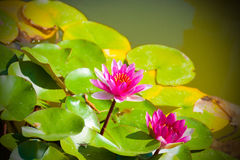 Pink water lilies in a pond Stock Images