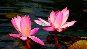 Pink water lilies in pond. Beautiful hybrid pink water lilies in a garden pond stock video