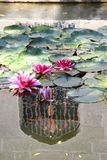 Pink water-lilies in a pond near the Vorontsov Palace in the Crimea. Flowers royalty free stock photos