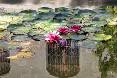 Pink water-lilies in a pond near the Vorontsov Palace in the Crimea. Flowers royalty free stock image