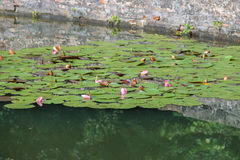 Pink water lilies in  pond Royalty Free Stock Images