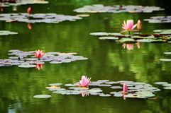 Pink water lilies  in pond Stock Images